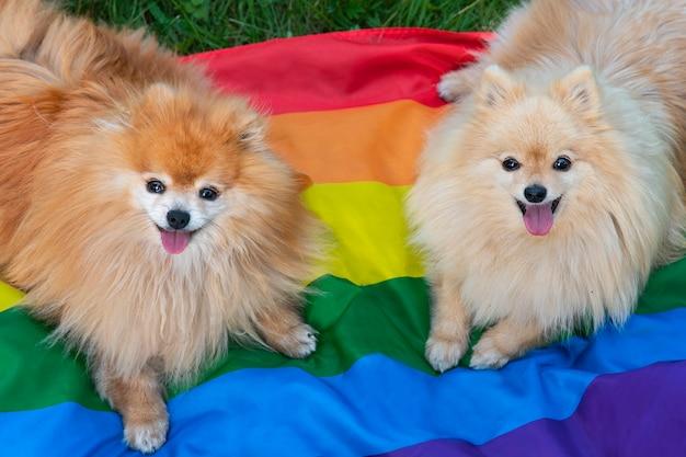 Два счастливых друга померанский шпиц собак, лежащих на траве на радужном цветном флаге лгбт, улыбаясь с высунутым языком летом. гей-прайд животных. гомосексуальные отношения и концепция трансгендерной ориентации
