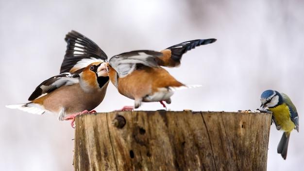 2つのホーフィンチがフィーダーで戦います。