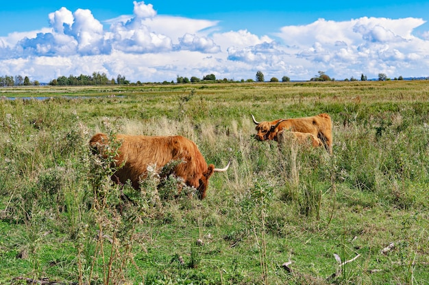 Two highland cattle cows and calf graze on free range pasture on prairie in summer