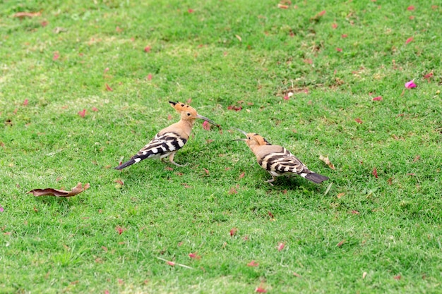Two hoopoe bird sitting on green grass close-up