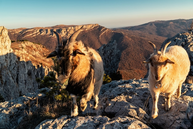 山のクローズアップで2つの角のあるヤギ