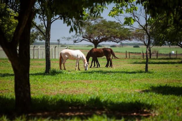 晴れた日に牧草地で食べる2頭の馬。ブラジル。