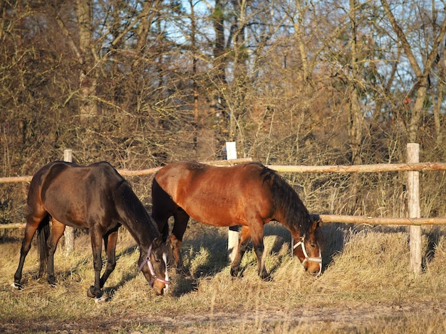 Two horses in the field eating grass. Premium Photo