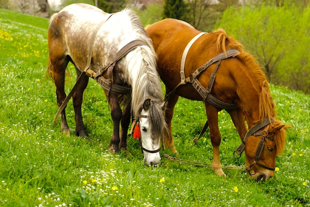 Two horses graze on countryside meadows, spring