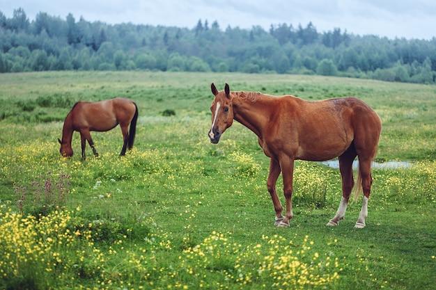 野原で放牧している2頭の馬