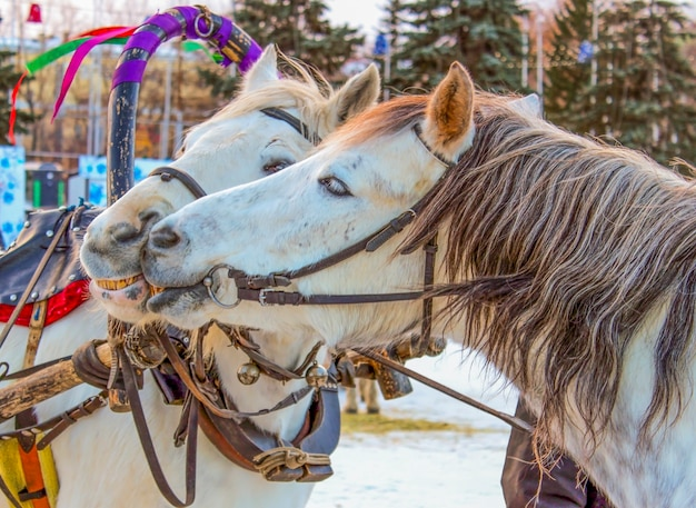Two horses harnessed to kiss at the fair