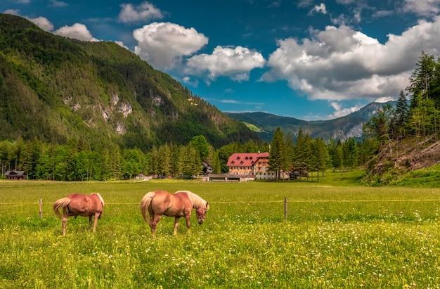 フィールドと山の2頭の馬、フィールドの草を食べる2頭の馬