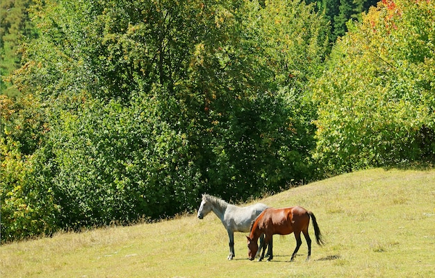 Две лошади на склоне горы местия хайленд в регионе сванетия грузии