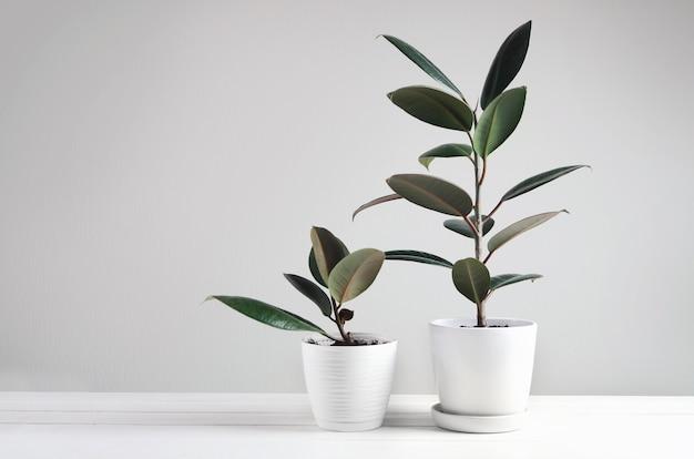 흰색 냄비에 ficus 식물을 가진 두 개의 관엽 식물. ficus elastica robusta 또는 고무 식물