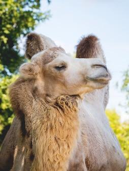 Двугорбый верблюд с гордо поднятой головой