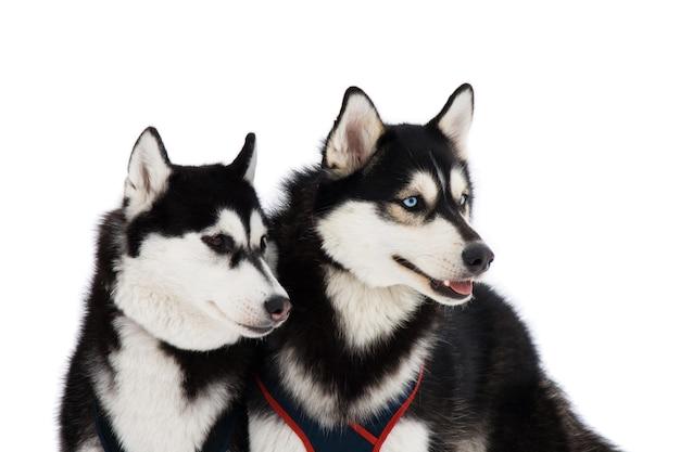 Две хаски с голубыми и карими глазами, изолированные на белом фоне