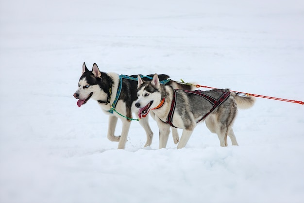 2匹のハスキー犬