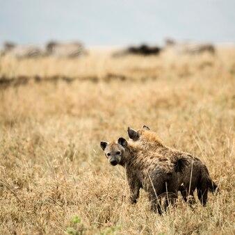 Two hyneas standing, serengeti, tanzania, africa