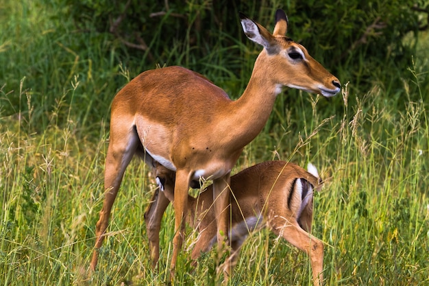 Две импалы: мать и младенец. тарангире, танзания