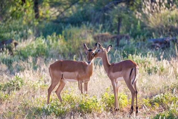 Two impalas stand together in the grass landscape
