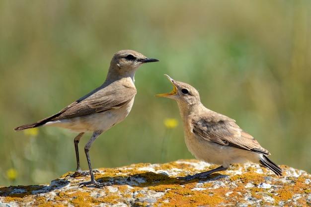 Два isabelline wheatear на скале в природе