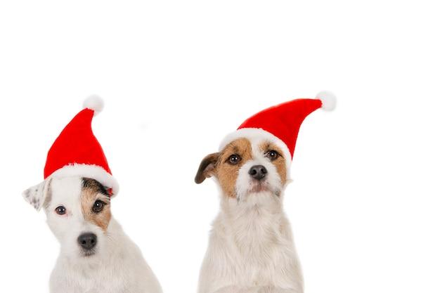 Две собаки джека рассела в шляпах санты, сидящие на белом фоне.