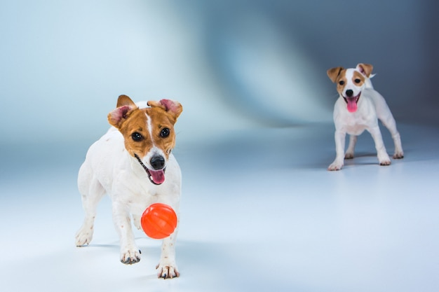 The two jack russell terrier standing on gray