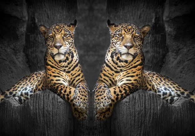 Two jaguars relax in the natural environment of the zoo.