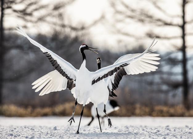2羽のタンチョウが雪の上で踊っています。日本。北海道。鶴居村。