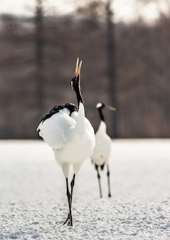 2羽のタンチョウが雪の中を一緒に歩き、交尾音を叫びます。日本。北海道。鶴居村。