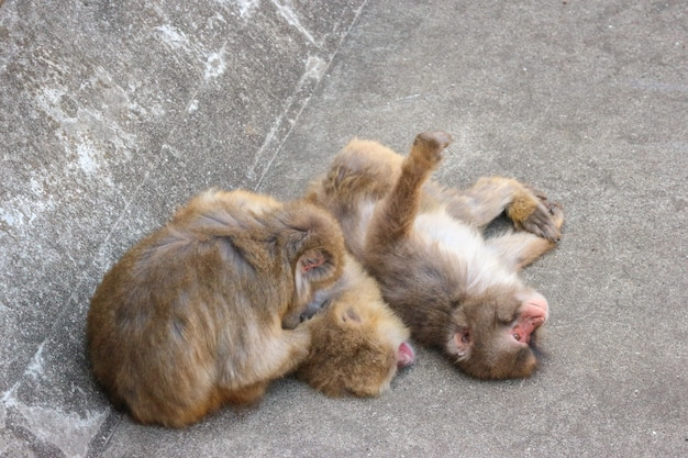 Two japanese macaque monkey sitting on the stone on sunny day.