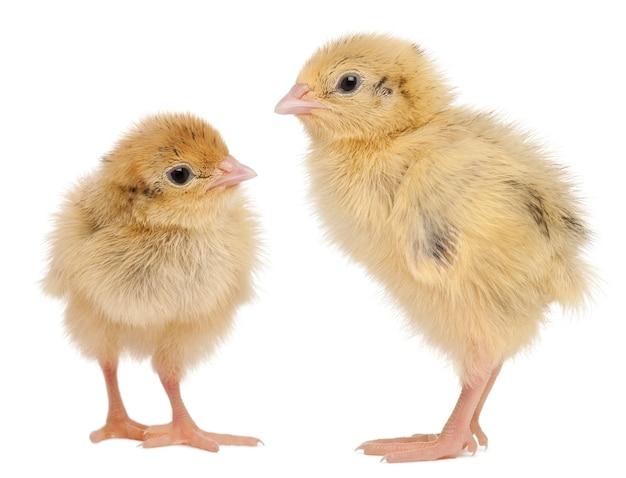 Два японских перепела, также известные как coturnix quail, coturnix japonica, 3 дня, на белом фоне