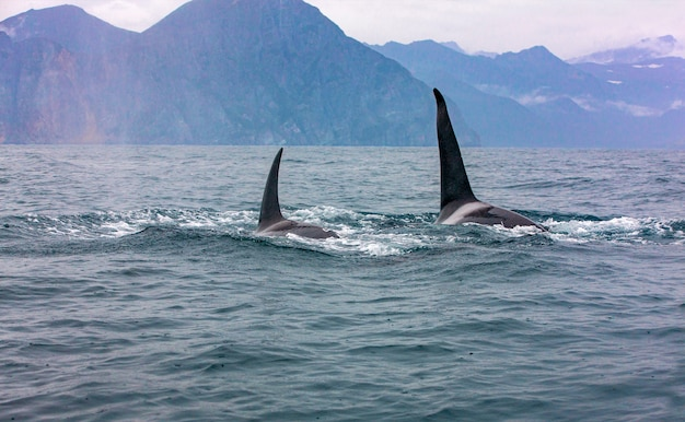 The two killer whales in the wild resting. selective focus