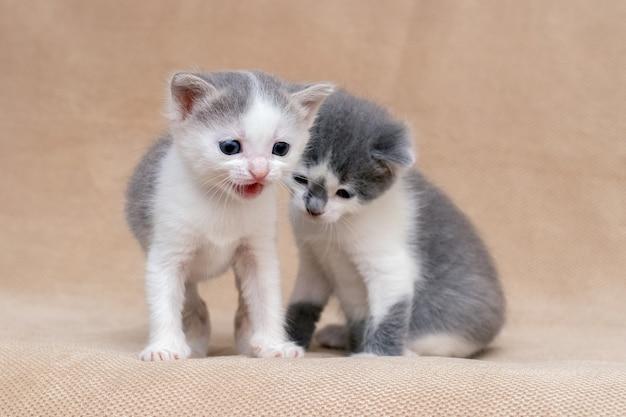 2匹の子猫がソファで遊んでいます