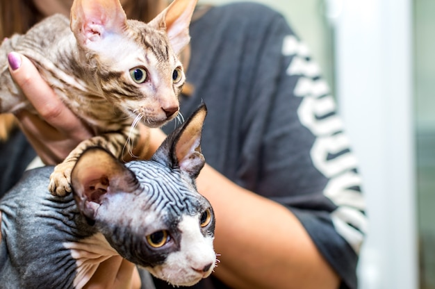 Two kittens cornish rex and sphinx in the hands of the hostess close-up