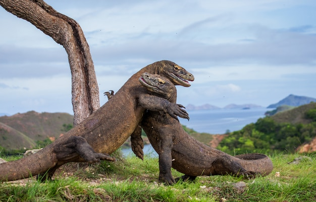 두 코모도 드래곤이 서로 싸우고 있습니다. 매우 드문 사진입니다. 인도네시아. 코모도 국립 공원.