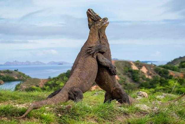 2匹のコモドオオトカゲが食べ物をめぐって争っています。インドネシア。コモド国立公園。