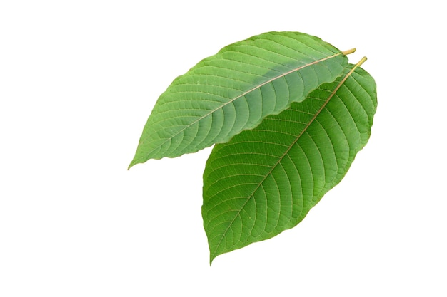Two kratom (mitragyna speciosa) leaves isolated on white background with clipping path.
