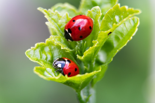 Two ladybirds on a leaf on leaves