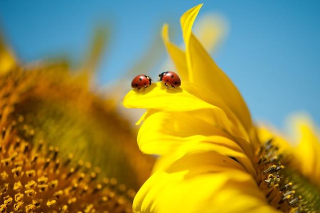 노란 꽃에 두 개의 무당벌레입니다. 고품질 사진