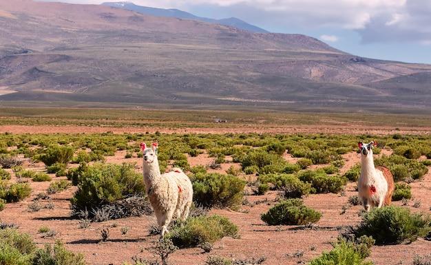 山の近くの谷を2人のラマが歩いています。ボリビア、アンデス。南米アルティプラノ