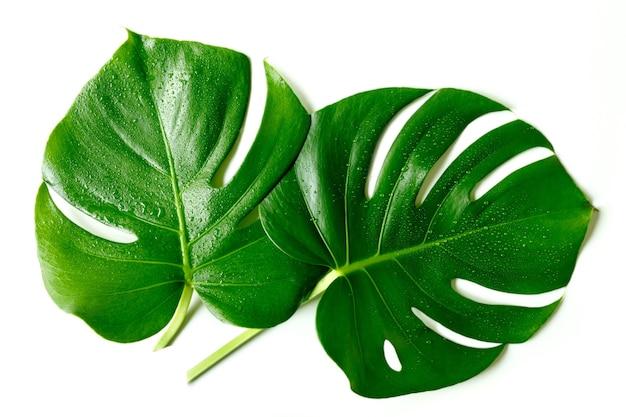 흰색 배경에 절연 물 방울과 두 개의 큰 몬스 테라 잎