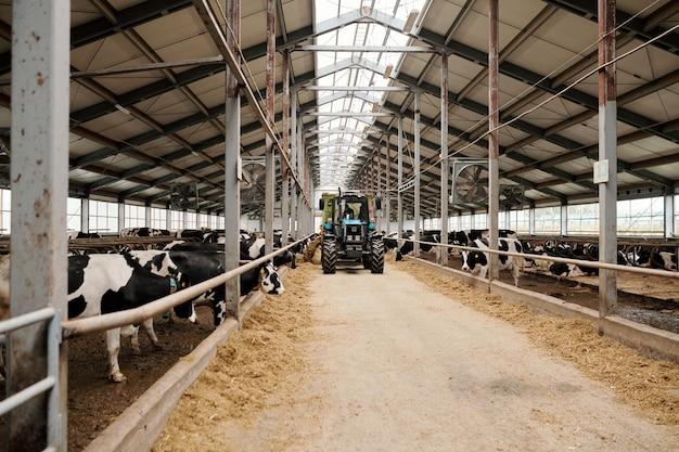 現代の動物農場とトラクターが通路に沿って前進する中で家畜の餌を食べる純血種の乳牛がいる2つの大きなパドック