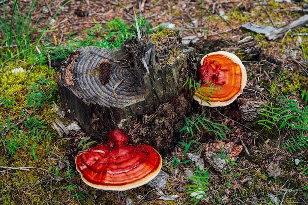 На сломанном дереве растет два больших красных трутовика. яркий красный трутовик на крупном плане пня. fomitopsis pinicola на коре среди зеленых растений в лесу. маленькие жуки на большом полипе. насекомое на грибе.