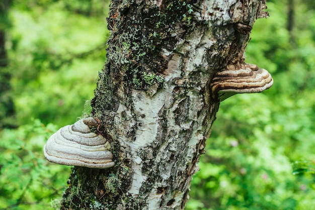 На диагональной березе растут два больших белых трутовика. белый трутовик на крупном плане ствола дерева в солнечном свете. fomes fomentarius на коре в лесу боке. большие полипы на солнечной зелени.