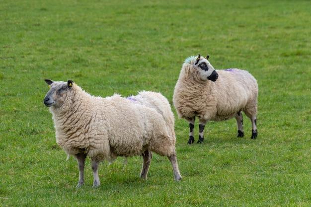 Две большие шерстистые овцы пасутся в загоне на фермерском поле. две овцы сбоку от камеры, одна овца смотрит в камеру.