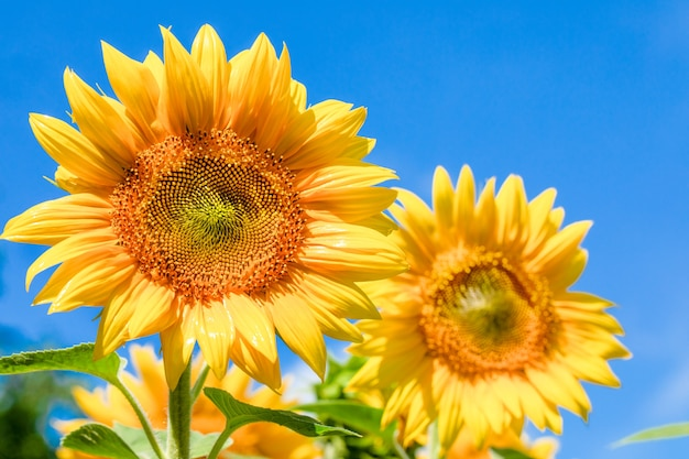 Two large young sunflower flowers