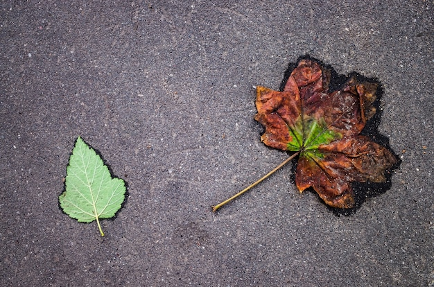 Two leaves on an asphalt road. one fresh green and a small one