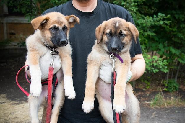 夏の屋外で男の手に2匹の明るい色の子犬