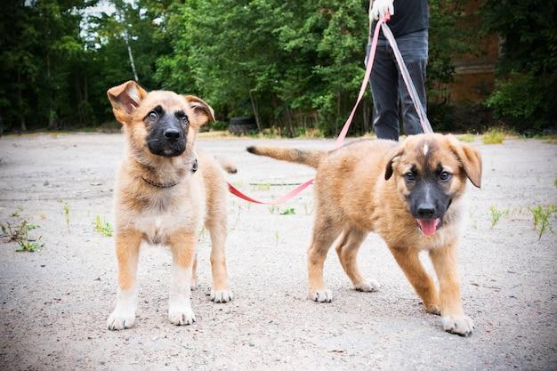 庭のひもにつないで歩いている2匹の明るい色の子犬