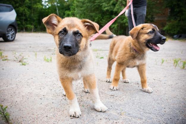 夏に屋外のひもにつないで歩く2匹の明るい色の子犬