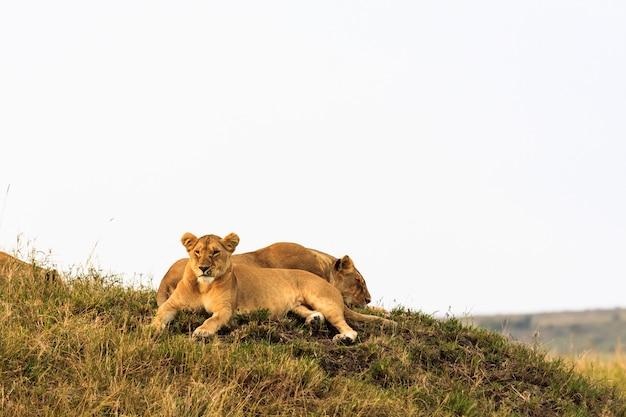 2頭のライオンの子が丘の上に休んでいます。マサイマラ、ケニア
