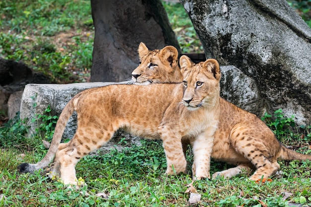 2匹のライオンの子が立って面白いものを見ています。
