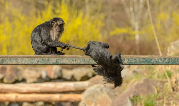 Two lion tailed macaque monkeys playing on metal platform one holding others tail