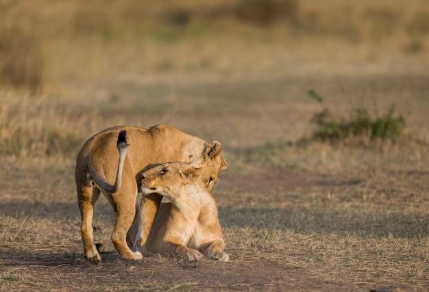 Две львицы ласкают друг друга. национальный парк. кения. танзания. масаи мара. серенгети.